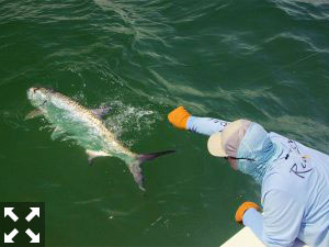 July is my favorite time to fly fish for tarpon as they begin to move toward the inside waters of Sarasota Bay, Tampa Bay and Charlotte Harbor. .