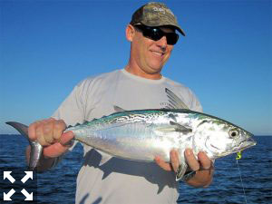 Steve Schadt, from Sarasota, had good action catching and releasing albies on flies and CAL jigs with shad tails while fishing in Sarasota with Capt. Rick Grassett.